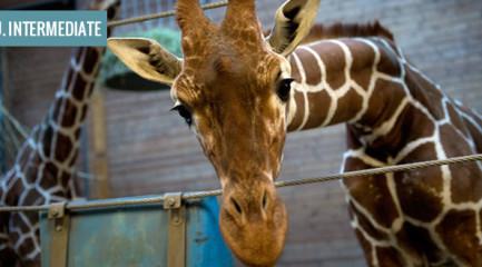 Zoos-giraffe
